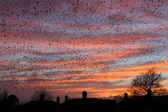 Sunset and the Starlings royalty free stock images