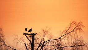 Sunset and storks. Pair of storks build nest at sunset stock video footage