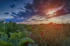 Sunset on sugar field Royalty Free Stock Photo