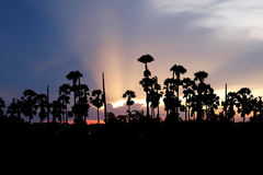 Sunset with sugar palm Royalty Free Stock Images