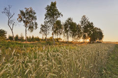 Sunset in summer field. Coloful sunset in summer field with rye Stock Photography
