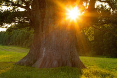 Sunset in summer. Through the grand oak Royalty Free Stock Photography