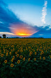 Sunset in a sun flower field Royalty Free Stock Photos