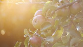 Sunset Sun rays Shine on bright juicy fruits, apples as in the garden of Eden. Bunches of tempting succulent red apples hanging on branches of trees in summer stock video footage