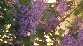 Sunset Sun Shining Through The Lilac Flowers stock footage
