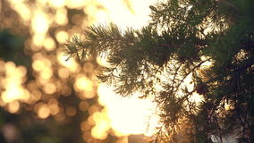Sunset Sun Shining Through The Pine Tree Branch. Close Up Spring Daytime Footage With Calm And Relaxing Atmosphere stock footage