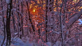 Sunset the sun through the snow-covered branches Stock Images
