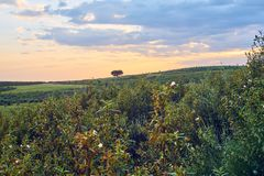 Sunset with sunbeams in the green field of spring in the pasture of Extremadura, with rockrose and holm oaks stock image