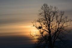 Sunset (sundown) through the tree. Orange, purple sunset - branched huge silhouette of tree with mistletoe Stock Image