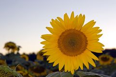 Sunset Sunflower Stock Image