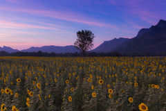 After sunset at Sunflower field Stock Photo