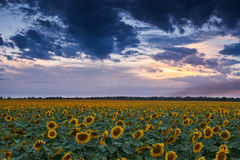 Sunset in sunflower field, beautiful summer landscape, dark cloudy sky Stock Photography