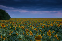 Sunset in sunflower field, beautiful summer landscape, evening cloudy sky Royalty Free Stock Images