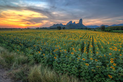 Sunset landscape at sunflower field Royalty Free Stock Photo