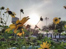 Sunset sunflower. A photo was taken while walking in Delhi cantonment Stock Photography