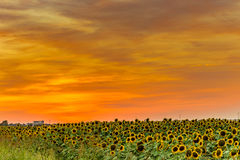 Sunset on sunflowers fields. Sunset on fields of yellow sunflowers, they inspire liveliness and care for the environment and ecology Stock Photography