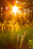 Sunset Sunlight In Green Forest, Summer Royalty Free Stock Photo