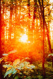 Sunset Or Sunrise In Autumn Forest. Sun Sunshine With Natural Sunlight Through Trees. Stock Image