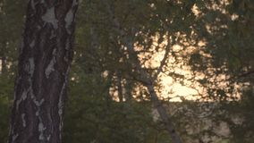 Sunset sunrise light through birch leaves. Beautiful sunset sunrise sunbeam light through birch leaves stock footage
