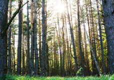 Sunset Sunrise In Spring Coniferous Forest Stock Photography