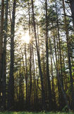 Sunset Sunrise In Spring Coniferous Forest Stock Photo