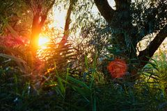 Sunset Sunrise In Spring Coniferous Forest Trees. Nature Woods. stock image