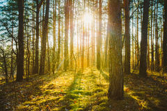 Sunset Sunrise In Spring Coniferous Forest Trees Royalty Free Stock Photo