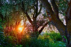 Sunset Sunrise In Spring Coniferous Forest Trees. Nature Woods. stock photos