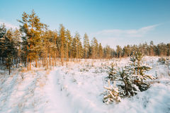 Sunset Sunrise Time. Path, Lane, Way In Sunny Winter Snowy Coniferous Forest. Stock Photo