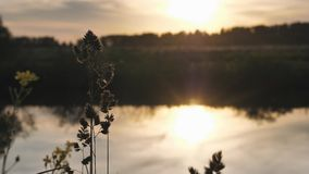 Sunset - sunset in the sky and its reflection in the watery surface of the river. Summer evening. inflorescence of grass. In the foreground. 4K stock video