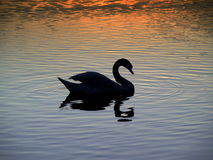 Sunset - swan Stock Photo