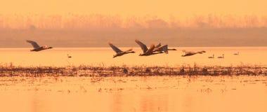 Sunset swan Stock Photo