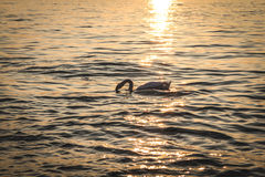 Sunset with Swan. Sunset on the calm lake with Swan royalty free stock image