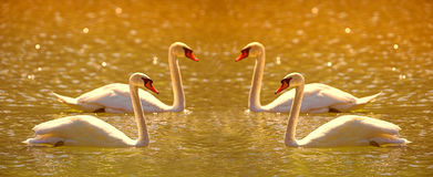 Sunset swan harmony Royalty Free Stock Photography