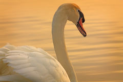 Sunset Swan Royalty Free Stock Photos
