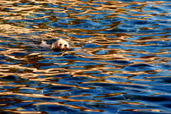 Sunset swimmer. A dog swimming in the sea  in sunset reflections Royalty Free Stock Image