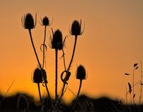 Sunset Teasel Royalty Free Stock Photo