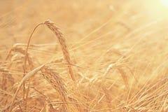 Sunset texture barley stock photo