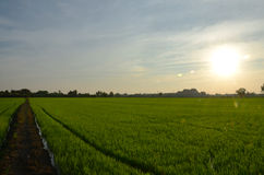 Sunset time with rice fields at countryside in Nonthaburi Thailand Royalty Free Stock Image