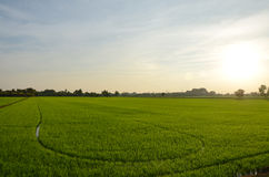 Sunset time with rice fields at countryside in Nonthaburi Thailand Stock Image