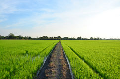 Sunset time with rice fields at countryside in Nonthaburi Thailand Royalty Free Stock Photography