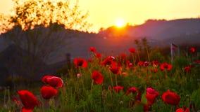 Sunset timelapse poppy flowers stock video footage