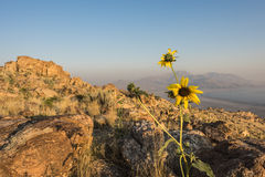Sunset at the top of Antelope Island in Utah with yellow daisy flower at the foreground Stock Photo