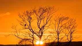 Sunset tree with crows Stock Photography