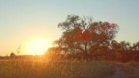Sunset Tree in Field. Sunset wide Tree in Field stock footage
