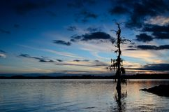 Sunset tree in river. Tree with moss on it Royalty Free Stock Image
