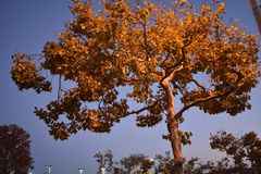Sunset tree in San Diego royalty free stock photography