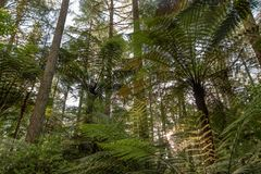 Redwood forest, Rotorua, New Zealand. Sunset through trees and ferns at redwood forest in Rotorua, New Zealand stock photos