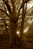 Sunset Through the Trees. Sunset through the forest with a lens flare Stock Photography