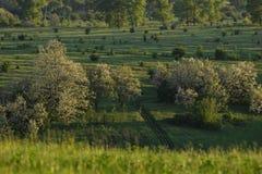 Sunset trees shadows. White toy flowering аcacia on background Stock Image